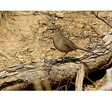 Curved-billed Thrasher II Photographic Print