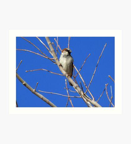 House Sparrow ~ Male Art Print