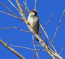 House Sparrow ~ Male by Kimberly Chadwick
