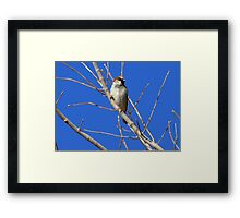House Sparrow ~ Male Framed Print