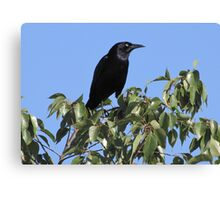 Great-tailed Grackle ~ Male Canvas Print