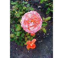 Beautiful Pink Rose in Garden Photographic Print