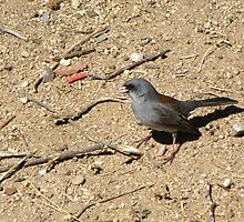Dark-eyed Junco ~ Red-backed Subspecies by Kimberly Chadwick