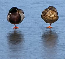 Mr. and Mrs. Mallard by CarrieAnn
