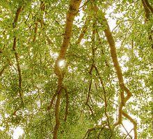 Valonia Oak by Philip Greenwood