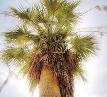 Blue Hesper Palm Footscray Botanic Gardens by Philip Greenwood