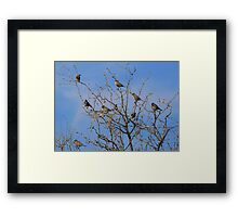 Lark Buntings Framed Print