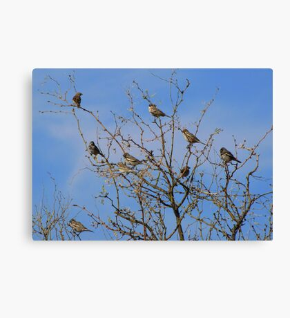 Lark Buntings Canvas Print