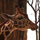 Giraffe by Alyce Taylor