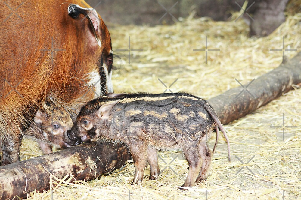 Red River Hogs by Alyce Taylor