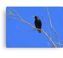 European Starling ~ Breeding Adult Canvas Print