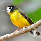 White Faced Robin - Cape York by Alwyn Simple