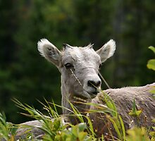Juvenile Rocky Mountain Sheep by Alyce Taylor