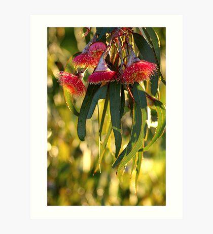 eucalypt blossom Art Print