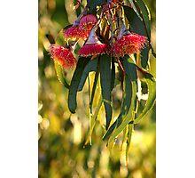 eucalypt blossom Photographic Print