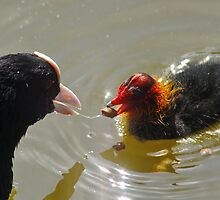 Feeding Time for Baby COOT by AnnDixon