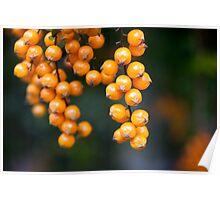 orange berries Poster