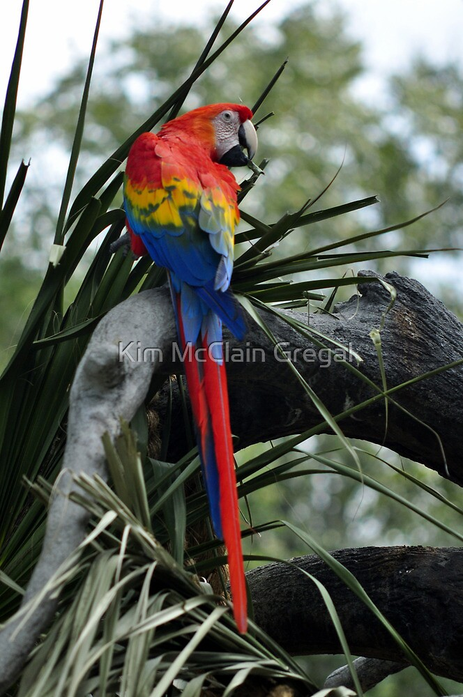Scarlet Macaw by Kim McClain Gregal