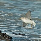 Wintering Red Knot by Robert Abraham