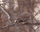 Mourning Dove by Benjamin Brauer