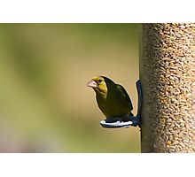 Gorgeous Greenfinch Photographic Print