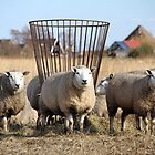 Herd of domestic sheeps. by JF Gasser