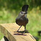 Gray Catbird ~ Dumetella carolinensis by Kyle Wolff