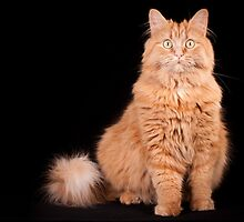 funny orange cat by natalies