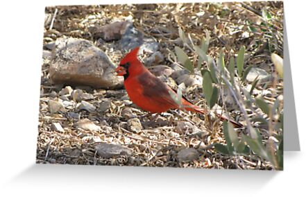 Northern Cardinal ~ Male by Kimberly Chadwick