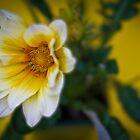 Vanilla Gazenia by BoB Davis