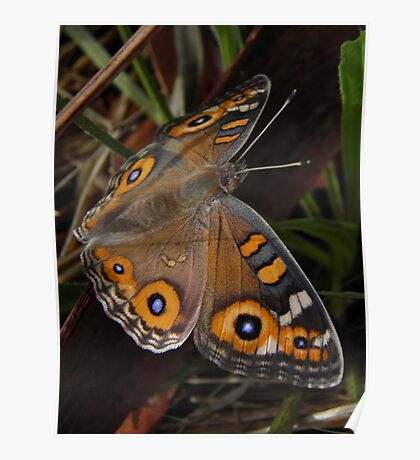 Meadow Argus Butterfly - Junonia villida Poster