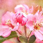 Crabapple Blossoms by Chris Armytage