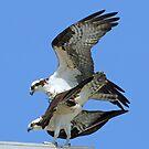 Mating ospreys by jozi1