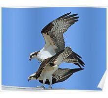 Mating ospreys Poster