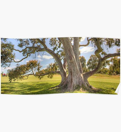 Smooth Barked Apple (Angophora costata) Poster