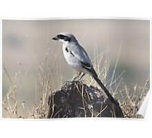 Grey Shrike Poster