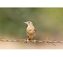 Pipit Photographic Print