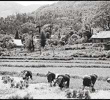 'A Wet Harvest: Rice Paddies.' Sapa, Vietnam by RyanEdwardson
