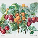 FGG raspberries by sjames