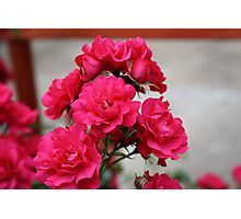 Pretty Pink Roses Photographic Print