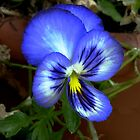 Blue Pansy by Tom Newman