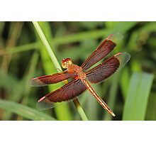 Red and Bronze Dragonfly Photographic Print