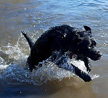 Splashing Labrador by Rebecca Eldridge