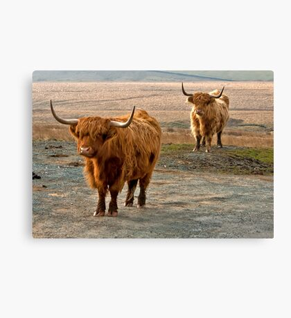 Beautiful Highlanders Canvas Print