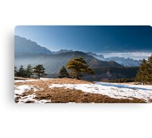 A pine in the light Canvas Print