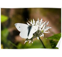 Animal, Butterfly, Green veined White, (Pieris napi), feeding Poster
