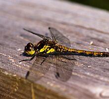Dragonfly, Common Darter, Sympetrum striolatum, female by Hugh McKean