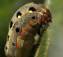 Chubby caterpillar by Etwin