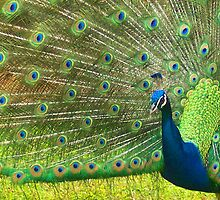 Peacock In Blume by Fred Barber