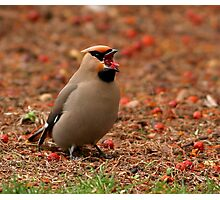 Bohemian Waxwing Photographic Print